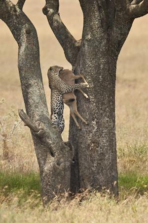 james-hager-leopard-panthera-pardus-carrying-a-days-old-blue-wildebeest-brindled-gnu-calf-up-a-tree