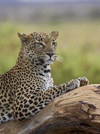james-hager-leopard-panthera-pardus-samburu-national-reserve-kenya-east-africa-africa