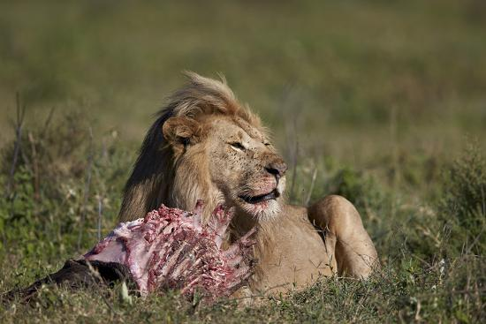 james-hager-lion-panthera-leo-at-a-wildebeest-carcass