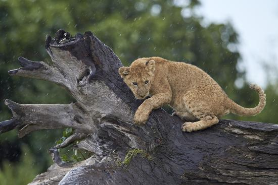james-hager-lion-panthera-leo-cub-on-a-downed-tree-trunk-in-the-rain