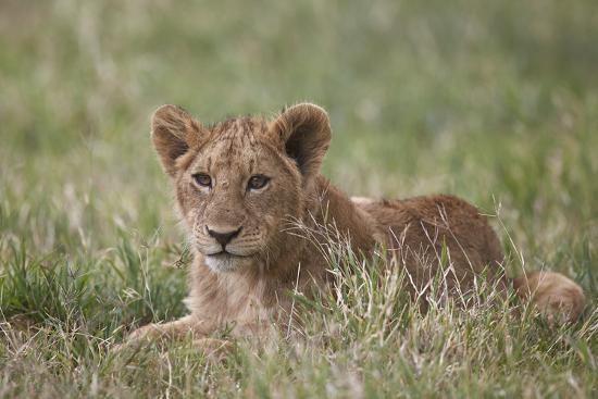 james-hager-lion-panthera-leo-cubs-ngorongoro-crater-tanzania-east-africa-africa