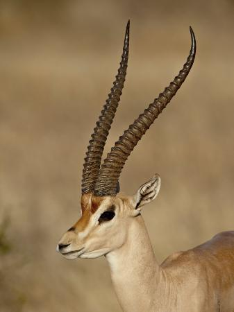 james-hager-male-grant-s-gazelle-samburu-national-reserve-kenya-east-africa-africa