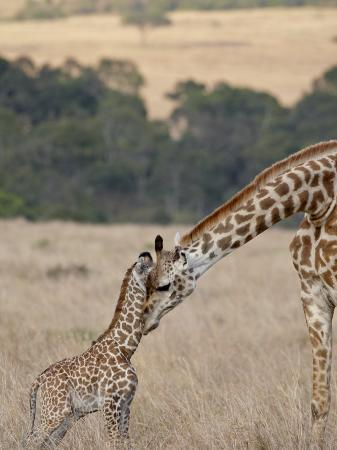 james-hager-mother-and-baby-masai-giraffe-just-days-old