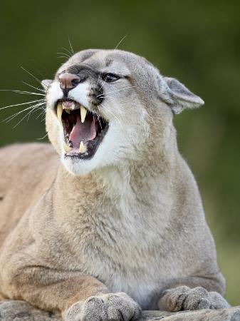 james-hager-mountain-lion-in-captivity-sandstone-minnesota-usa