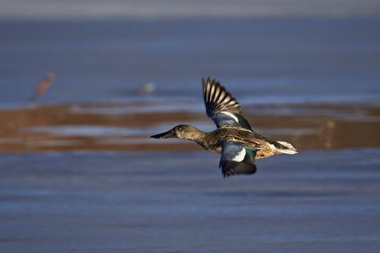james-hager-northern-shoveler-anas-clypeata-in-flight