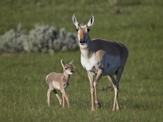 james-hager-pronghorn-antilocapra-americana-cow-and-calf