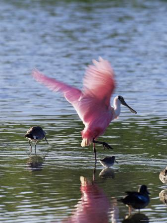 james-hager-roseate-spoonbill-ajaia-ajaja-j-n-ding-darling-national-wildlife-refuge-florida