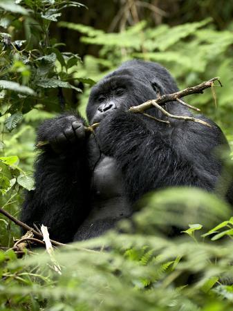 james-hager-silverback-mountain-gorilla-gorilla-gorilla-beringei-group-13-volcanoes-national-park-rwanda