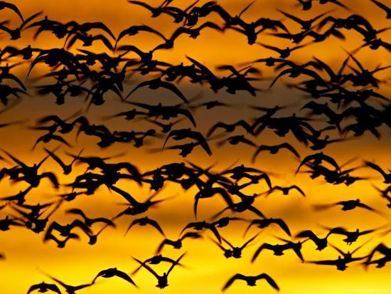 james-hager-snow-goose-flock-at-dawn-after-a-blast-off-bosque-del-apache-national-wildlife-refuge