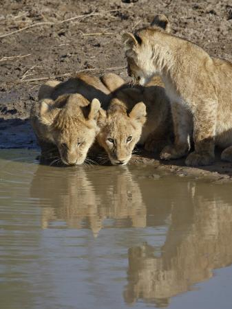 james-hager-three-lion-cubs-drinking-masai-mara-national-reserve-kenya-east-africa-africa