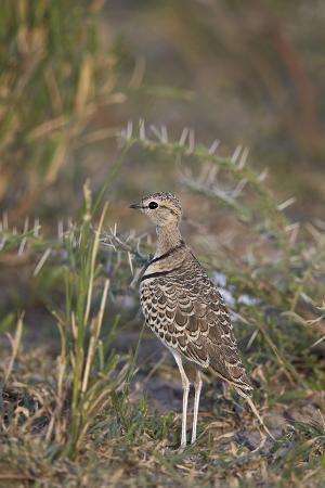 james-hager-two-banded-courser-double-banded-courser-rhinoptilus-africanus