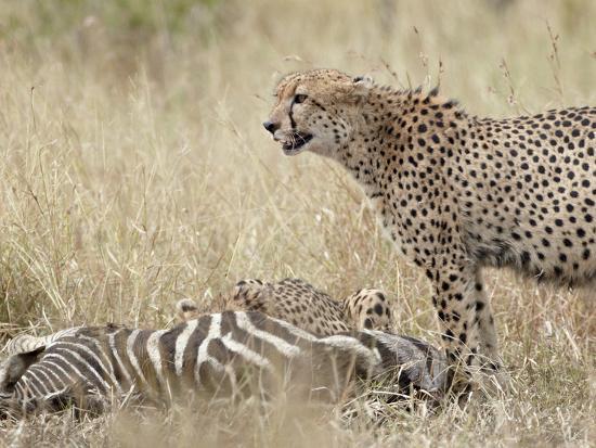 james-hager-two-cheetah-acinonyx-jubatus-at-a-zebra-kill-kruger-national-park-south-africa-africa