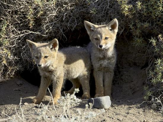 james-hager-two-gray-fox-pups-at-den-entrance-torres-del-paine-chile-south-america