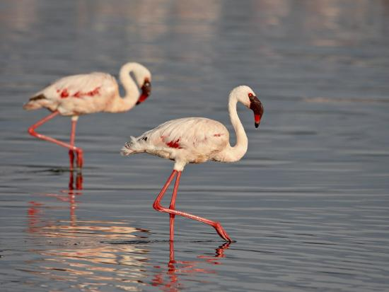 james-hager-two-lesser-flamingo-lake-nakuru-national-park-kenya-east-africa-africa