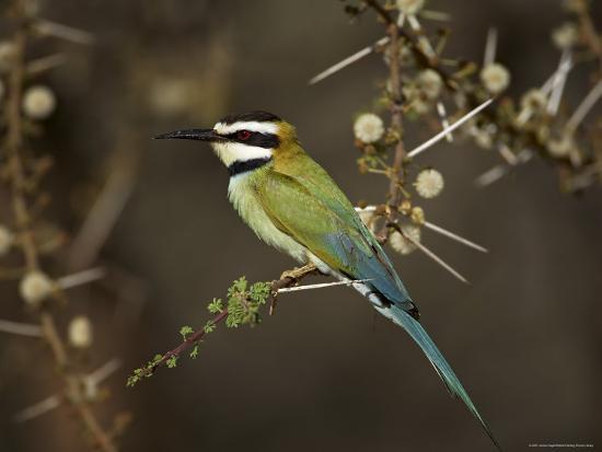 james-hager-white-throated-bee-eater-merops-albicollis-perched-in-an-acacia-tree-samburu-game-reserve-kenya