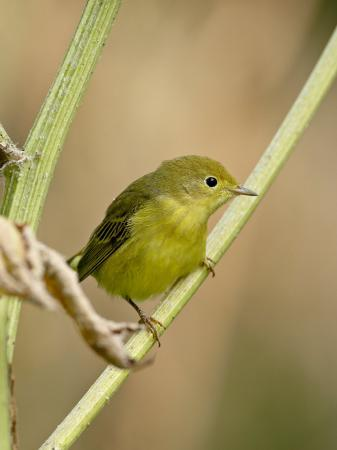 james-hager-yellow-warbler-dendroica-petechia-near-palmer-alaska-united-states-of-america-north-america