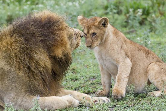 james-heupel-adult-male-lion-father-growls-at-female-cub-ngorongoro-tanzania
