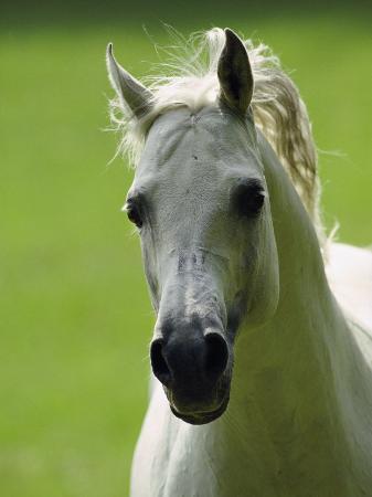 james-l-stanfield-arabian-horse