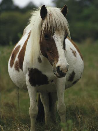 james-l-stanfield-portrait-of-a-pregnant-assateague-wild-pony-mare