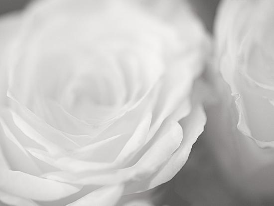 james-mcloughlin-rose-studies-i