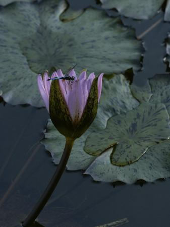 james-p-blair-dragonfly-on-a-water-lily-blossom