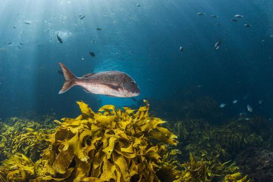 james-white-a-large-snapper-swims-above-a-kelp-bed-off-north-island-new-zealand