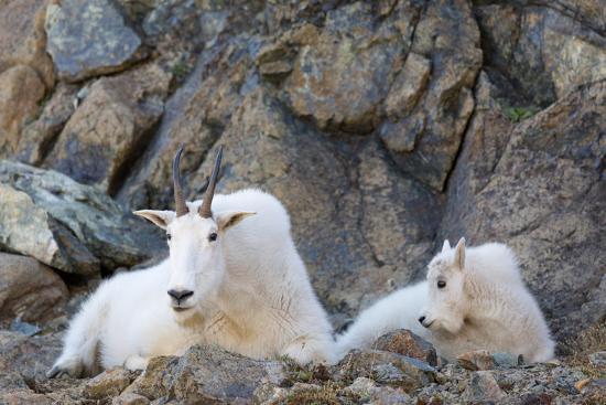 jamie-and-judy-wild-wa-alpine-lakes-wilderness-ingalls-lake-area-nanny-goat-and-kid
