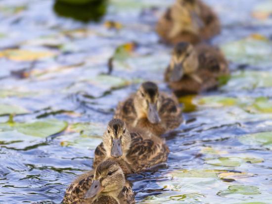 jamie-and-judy-wild-wa-juanita-bay-wetland-mallard-ducklings-anas-platyrhynchos