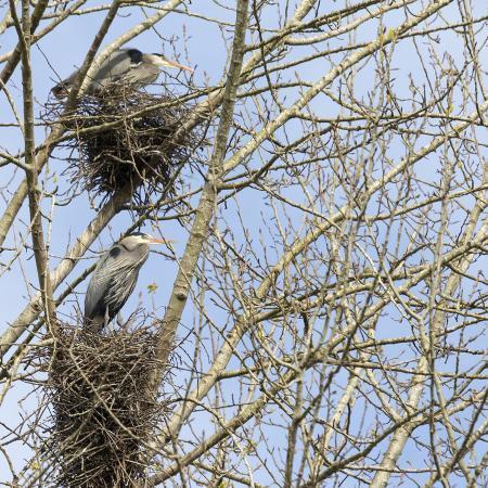jamie-and-judy-wild-washington-redmond-great-blue-herons-on-nest-at-rookery