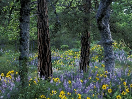 jamie-judy-wild-balsam-root-and-lupine-among-pacific-ponderosa-pine-rowena-oregon-usa