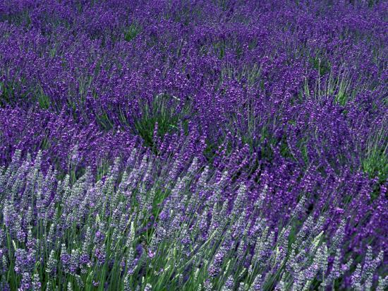 jamie-judy-wild-lavender-fields-in-sequim-olympic-peninsula-washington-usa