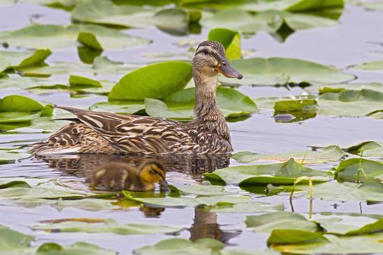 jamie-judy-wild-mallard-duck-duckling-wildlife-juanita-bay-wetland-washington-usa