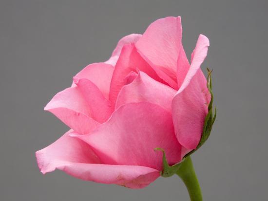 jamie-judy-wild-rose