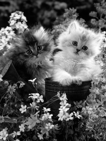 jane-burton-7-weeks-gold-shaded-and-silver-shaded-persian-kittens-in-watering-can-surrounded-by-flowers