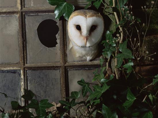 jane-burton-barn-owl-peering-out-of-broken-window-uk