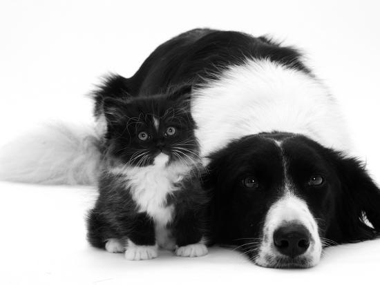 jane-burton-black-and-white-border-collie-lying-chin-on-floor-with-black-and-white-kitten