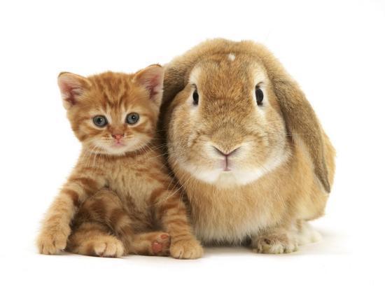 jane-burton-british-shorthair-red-spotted-kitten-sitting-with-sandy-lop-rabbit