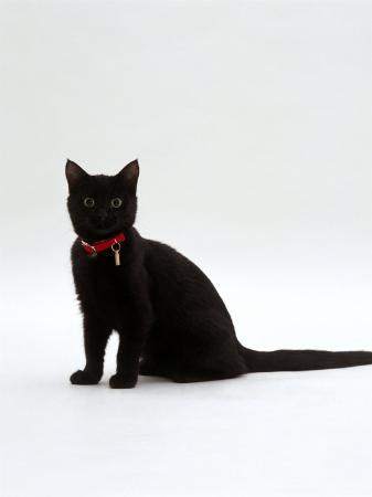 jane-burton-domestic-cat-4-month-black-female-wearing-collar-and-tag