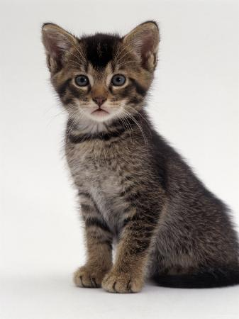 jane-burton-domestic-cat-9-week-agouti-tabby-male-kitten-hybrid-wild-cat-crossed-with-a-blue-burmese