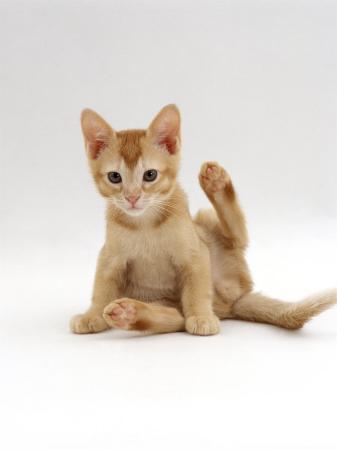 jane-burton-domestic-cat-9-week-kitten-looking-up-from-grooming