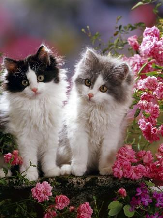 jane-burton-domestic-cat-black-and-blue-bicolour-persian-cross-kittens-among-pink-climbing-roses