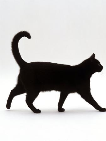 jane-burton-domestic-cat-black-short-hair-male-walking-profile