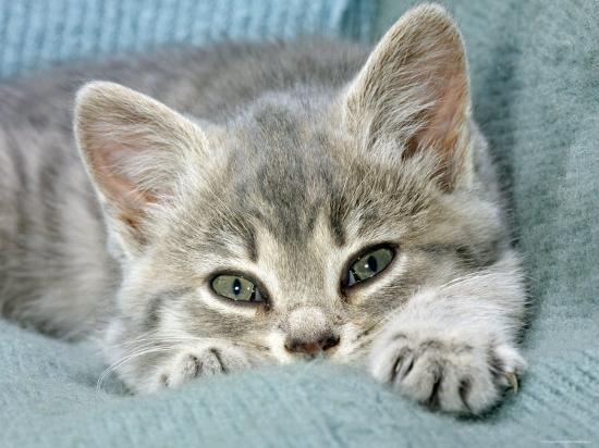 jane-burton-domestic-cat-blue-tabby-kitten