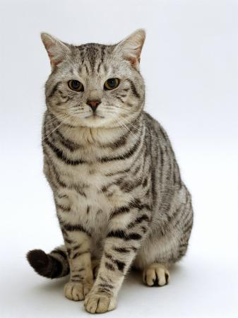 jane-burton-domestic-cat-british-shorthair-silver-spotted-tabby-male