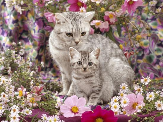 jane-burton-domestic-cat-british-shorthaired-silver-spotted-tabby-with-her-8-week-kitten-among-flowers