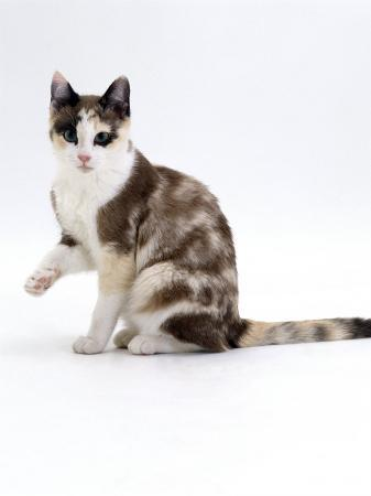 jane-burton-domestic-cat-chocolate-tortoiseshell-looking-up-after-licking-paw