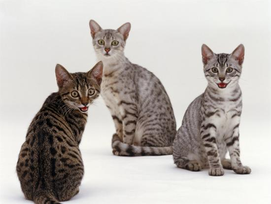 jane-burton-domestic-cat-female-silver-egyptian-mau-with-two-of-her-14-week-kittens