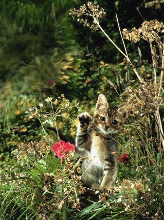 jane-burton-domestic-cat-kitten-in-flower-field