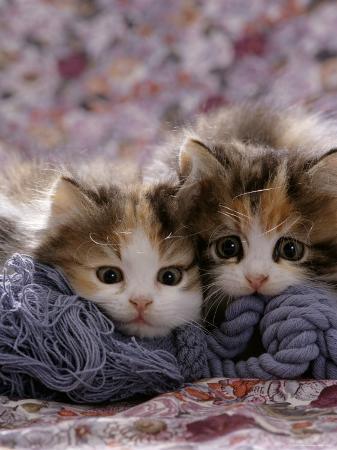 jane-burton-domestic-cat-kittens-8-weeks-tortoiseshell-and-white-sisters-persian-cross