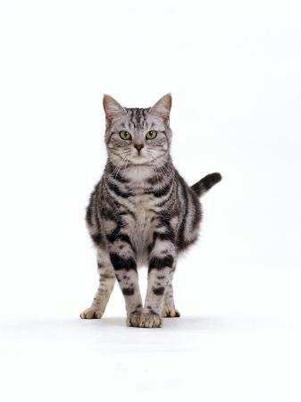 jane-burton-domestic-cat-pregnant-silver-tabby-british-shorthair-female